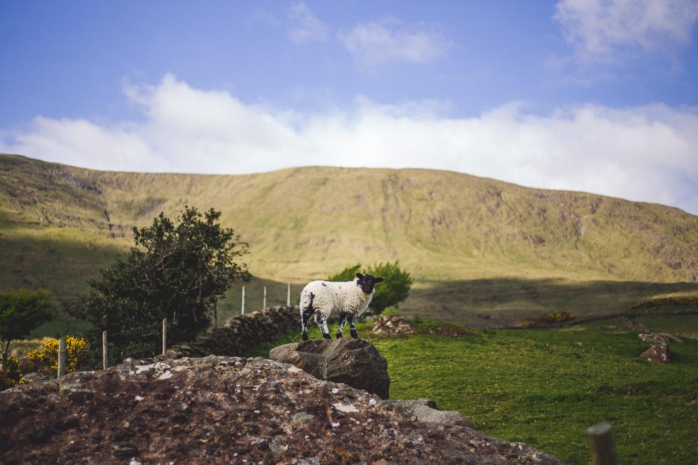 18-andy-carrie-sheep-connemara-ireland-andyandcarriephoto