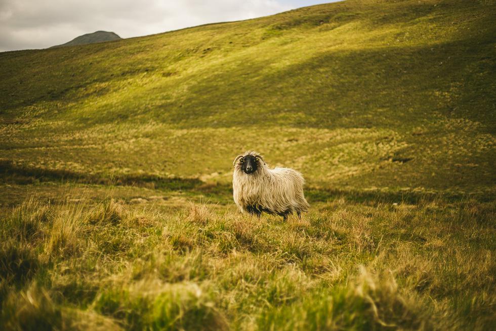 19-andy-carrie-sheep-connemara-ireland-andyandcarriephoto